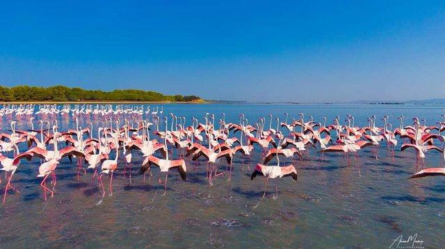 Fenomeni i rrallë i flamingove në Pogradec, ja çfarë