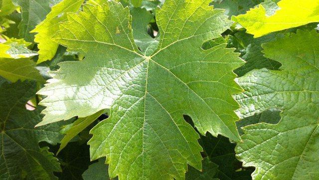 Ja si t'i përdorni gjethet e rrushit, për të shëruar