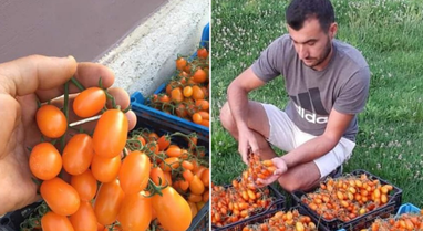 Fermeri i vetëm në Shqipëri që kultivoi gabimisht domaten me