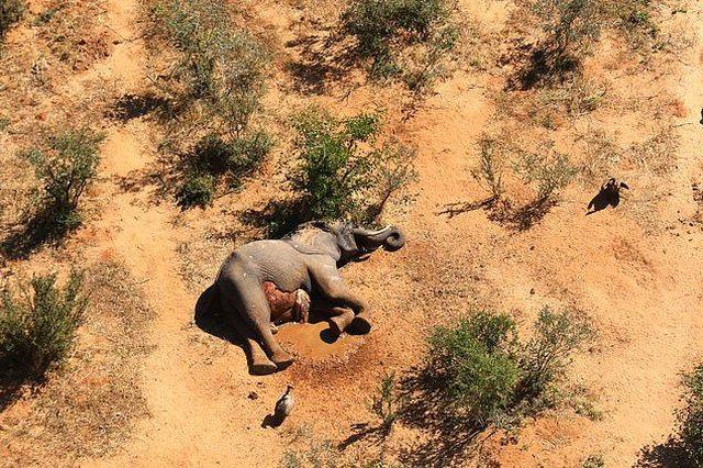 Pamje që të thyejnë zemrën, qindra elefantë të