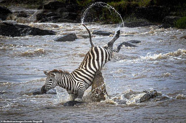 Pamjet e dhimbshme/ Krokodili kap në befasi dhe copëton zebrën