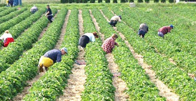 Skema/ Të vetëpunësuarve në bujqësi iu hiqet