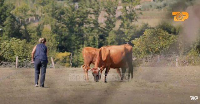 Marjana Kondi mjel lopët, Anxhela Peristeri vjel rrush/ Yjet siç nuk
