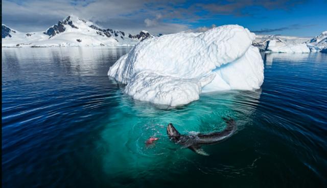 Fotot e dhimbshme/ Shihni si leopardi copëton pinguinin