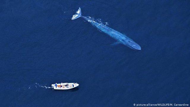 Zbulohet një popullatë e re balenash blu