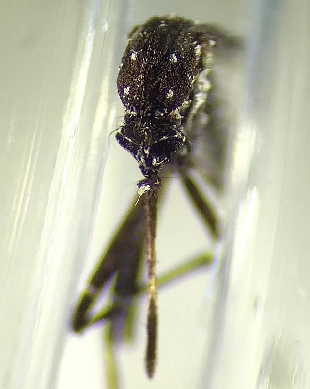 Insekti që vret 1 milion njerëz në vit dhe që