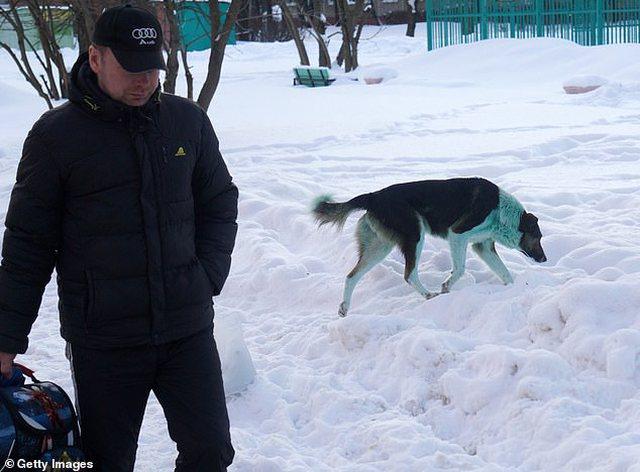 FOTO/Pas qenve blu dhe rozë, në Rusi shfaqen edhe qen jeshilë