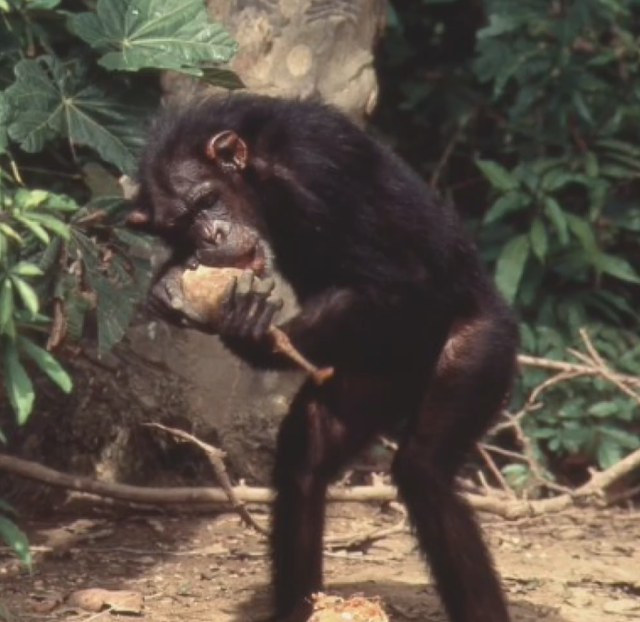 Lusi, shimpanzeja njeri? Eksperimenti i shkencëtarit Moris Temerlin dhe