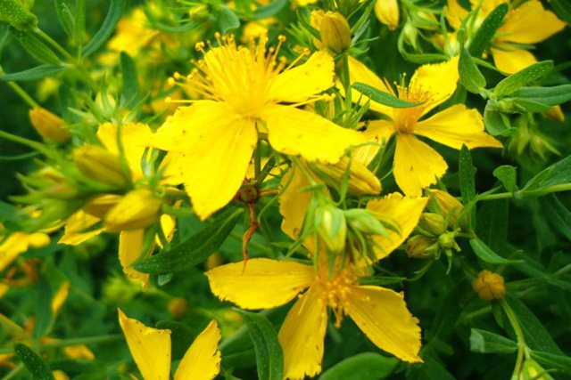 Lule basani me vaj ulliri/ Si të përgatisni dhe përdorni