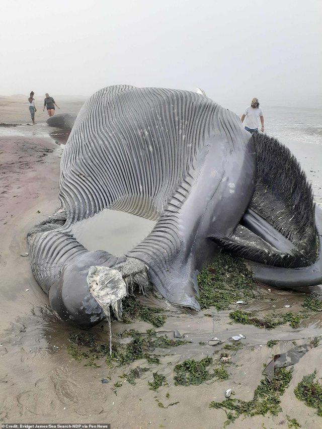 18 metra e gjatë, del në breg balena gjigante