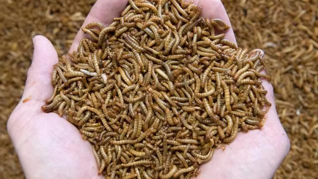 BE-ja aprovon insektin e parë si ushqim, ja ku mund të përdoret