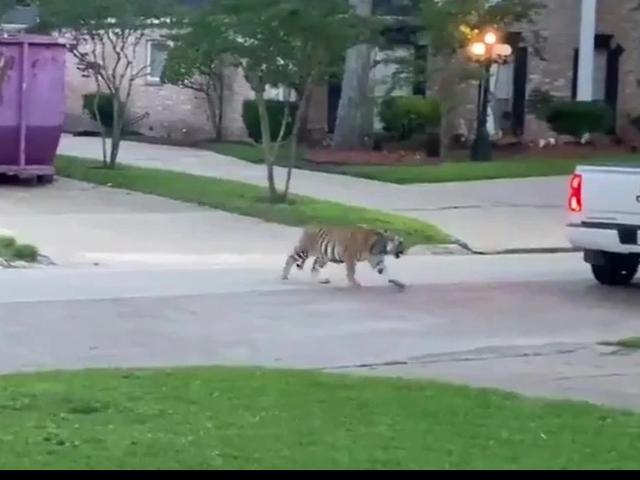 FOTOT-VIDEO/ Tigri shfaqet në qytet, njerëzit e tmerruar e presin me