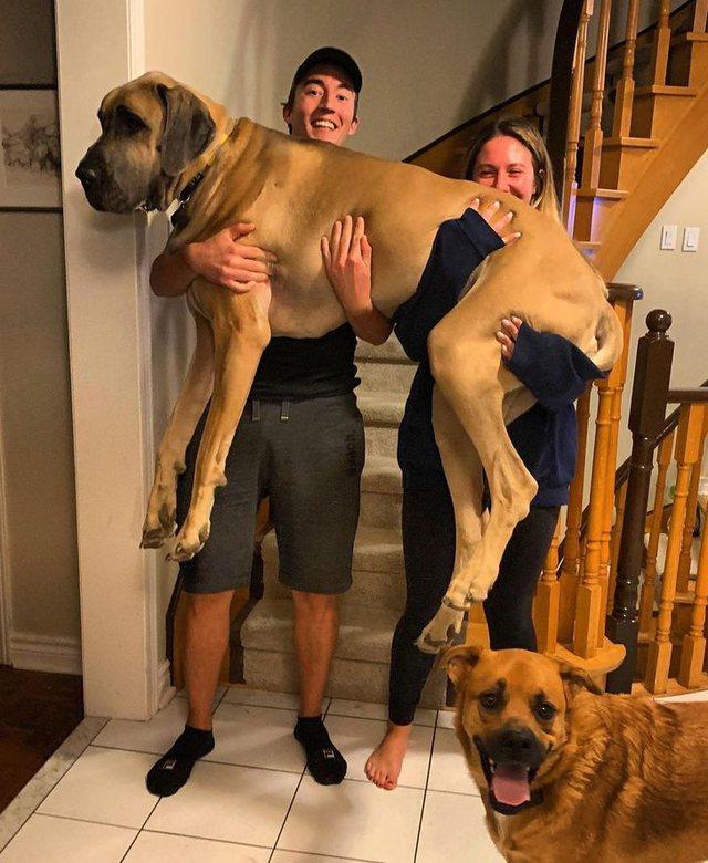 Kafshët gjigante që nuk ia kanë idenë sa të