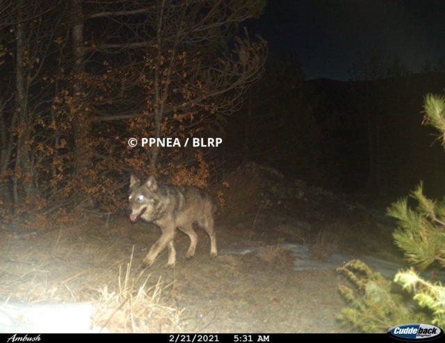 Dalin pamjet/ Çfarë kafshësh të egra u zbuluan nga kamerat