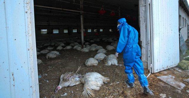 Virusi H5N8 konfirmohet në 3 vatra, Shqipëria ndalon tregtimin e