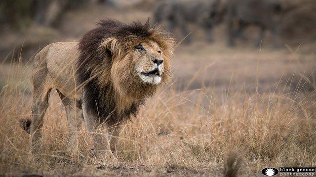 Ngordh në moshën 14-vjeçare luani më i famshëm i