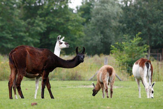 Nanotrupat magjike të llamas! Studimi në Angli: Shërojnë