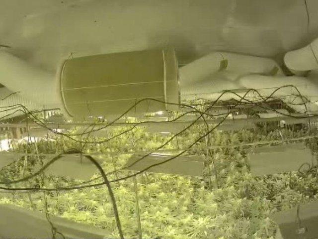 Gati 1000 rrënjë kanabisi në shtëpinë e barit/
