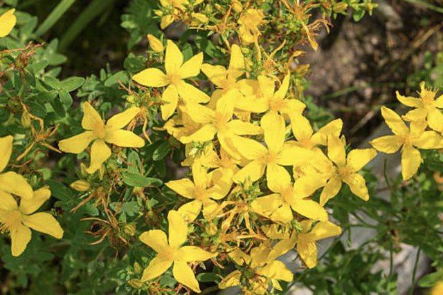 Lulja e basanit/ Balsami i mrekullueshëm për shëndetin dhe