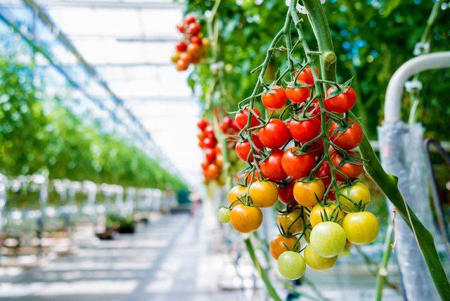 Kapen domate me pesticidin e ndaluar/ U prodhuan në serat e Beratit.