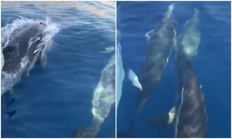 Pamje të mrekullueshme nga Jala, një grup delfinësh