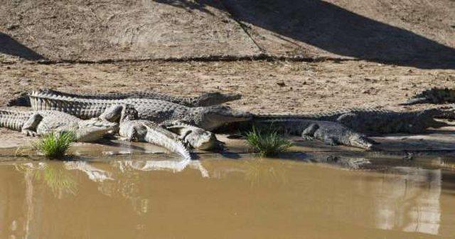 E frikshme, 100 krokodilë arratisen në Afrikën e Jugut,