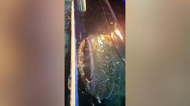 Momenti kur peshkaqeni-balenë afrohet te barka e peshktarëve duke u