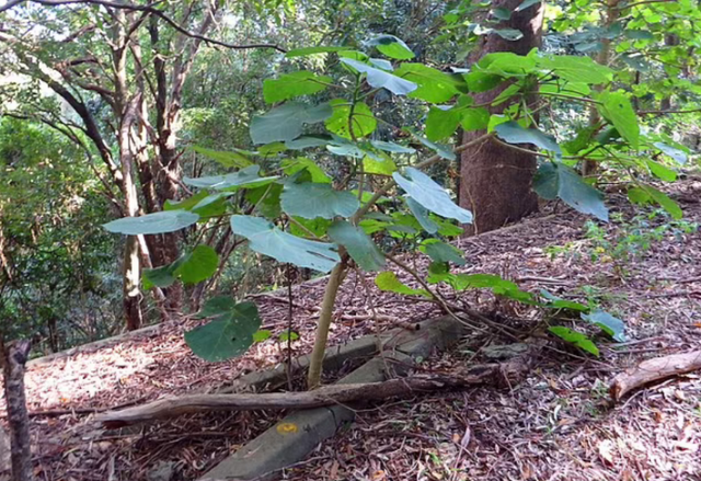 Njihuni me bimën më helmuese në botë, ja si duket dhe ku
