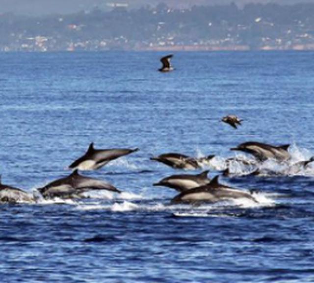 Video/ Qindra delfinë dhurojnë spektakël në brigjet e