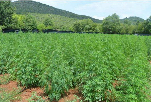 Shtatë plantacione me marijuanë, kapen 3 mijë e 700