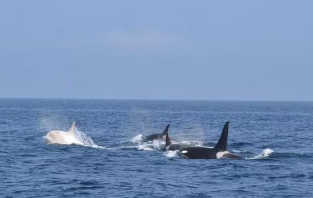 Mrekulli në brigjet japoneze, shihen dy orka të bardha duke notuar