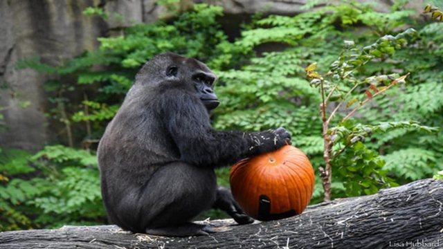Mbushi 40-vjeç, gorilla Ndume është më e vjetra në