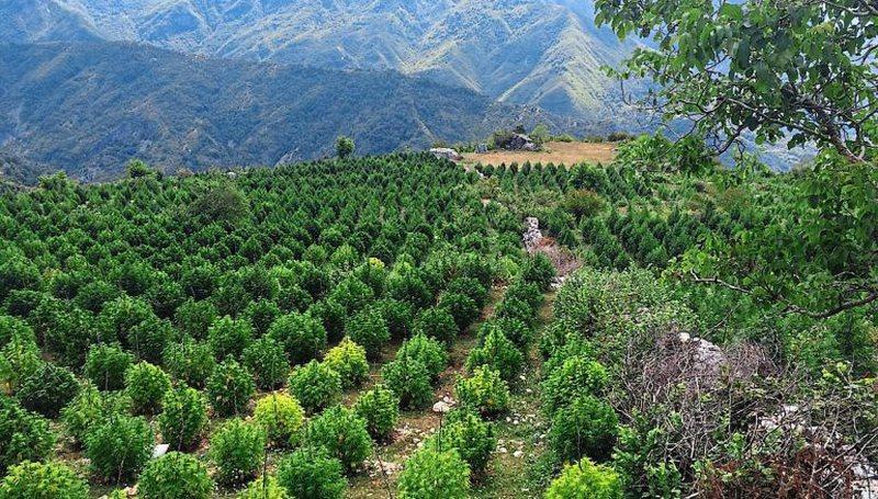 Qendra Europiane e Drogave ngre alarmin: Kultivimi i kanabisit mund të