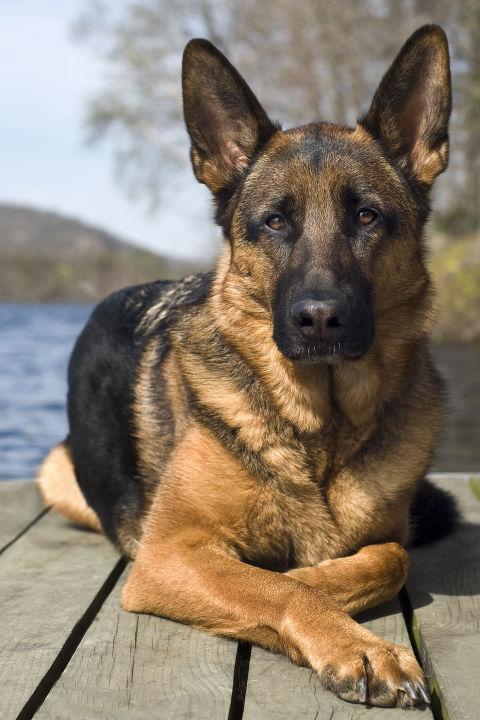 german shepher