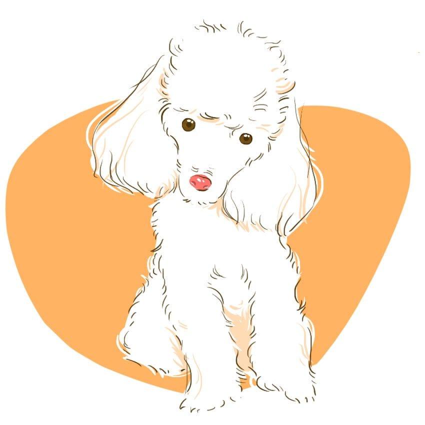 embeddedIMG 14 Dog Breeds That Dont ShedAre Hypoallergenic 850px 2 850x850
