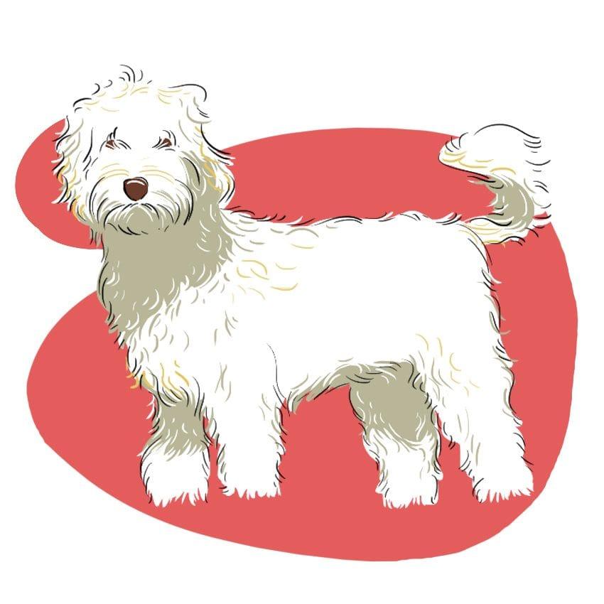 embeddedIMG 14 Dog Breeds That Dont ShedAre Hypoallergenic 850px 3 850x850