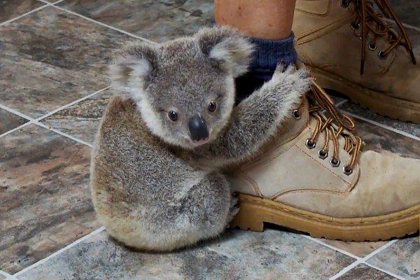 baby koala clings to a leg