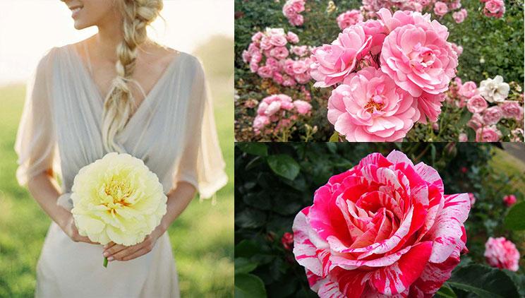rosegarjer