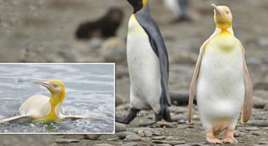 Foto mahnitëse nga pinguini i verdhë, i cilësuar si një nga