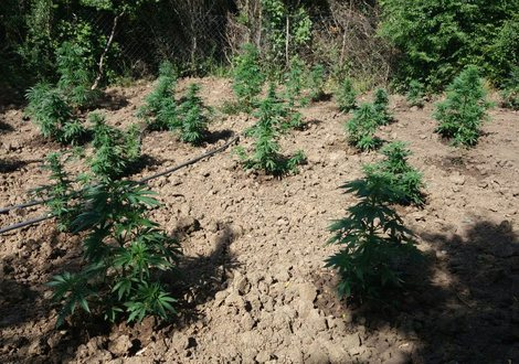 LAJMI FLASH/ Kultivuan kanabis në tokën e tyre, në kërkim dy