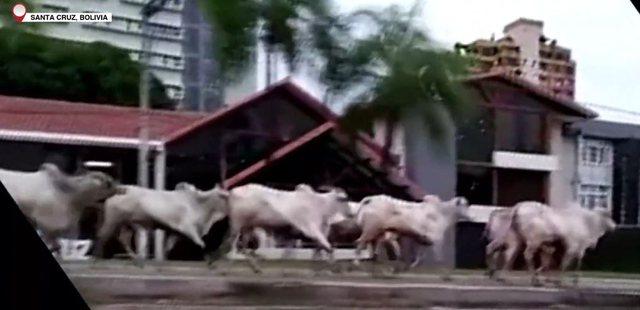 Lopët dalin xhiro nëpër qytet dhe sulmojnë banorët, 4