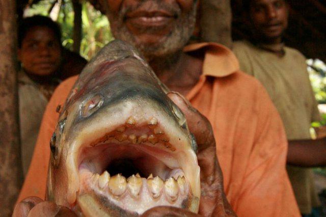 Peshqit që hanë testikujt e meshkujve zbulohen për herë