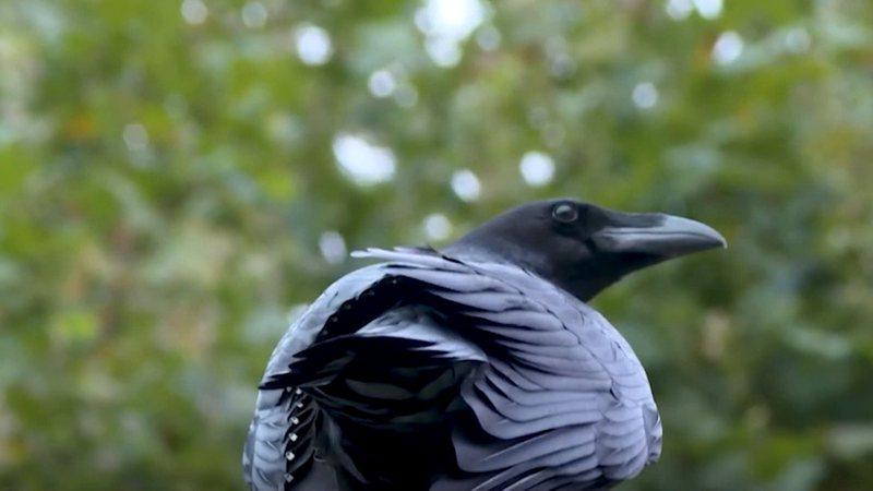 Korbat e kurorës/ Legjenda e zogjve të Kullës së