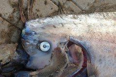 Krijesa  peshk mostër prej 5 metrash (Video)