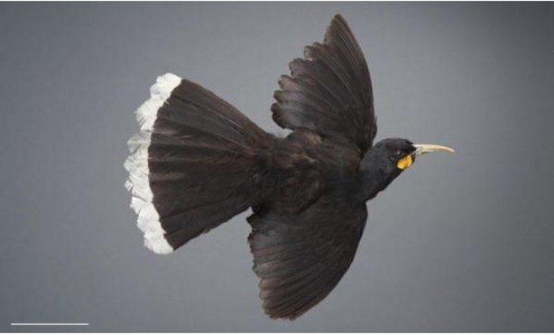 Një pendë e këtij zogu kushton 10.000 dollarë