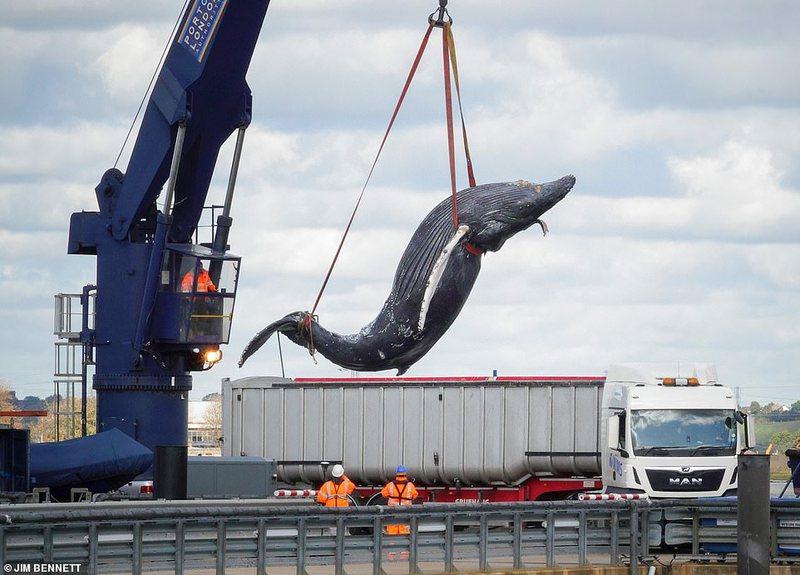 Nxirret nga lumi i Londrës trupi i balenës së kequshqyer