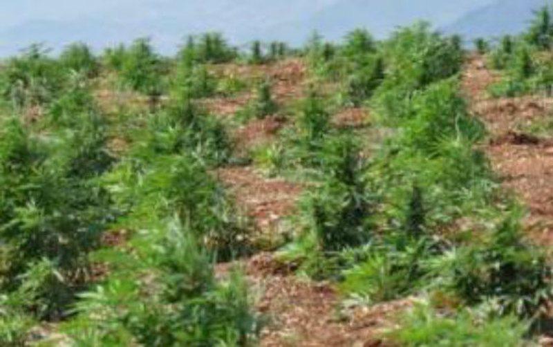 Asgjësohen 917 bimë hashashi në 3 fshatra të Vlorës,