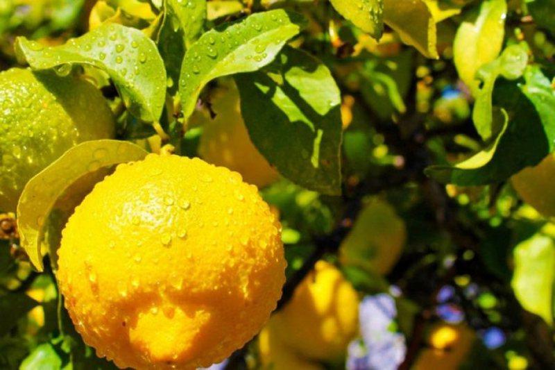 Vlerat e limonit i dimë të gjithë, por kur të mësoni