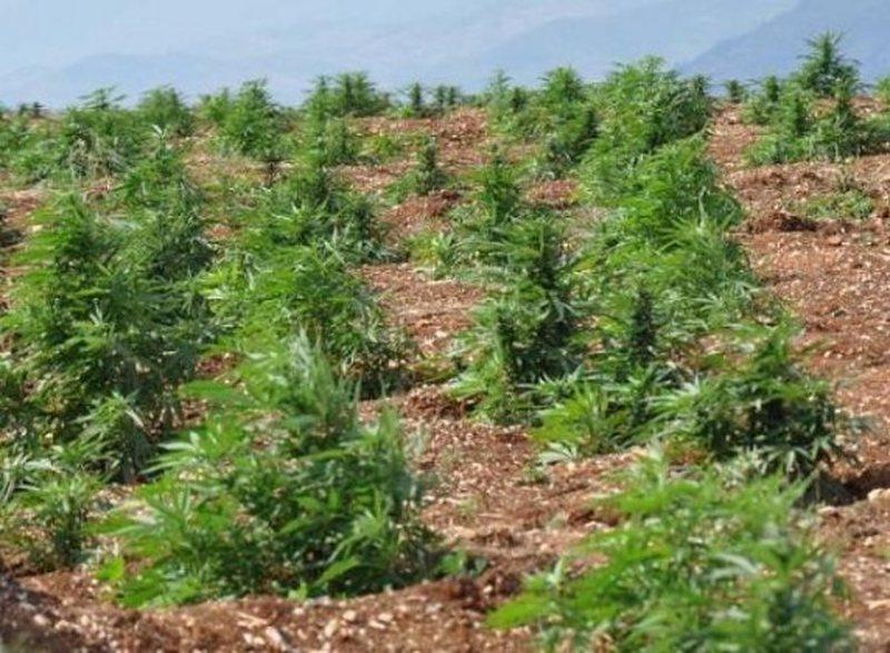 Gjirokastër, asgjesohen 820 rrënjë kanabis sativa, arrestohet