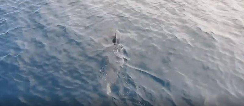 VIDEO / Panik te pushuesit, peshkaqeni vdekjeprurës 4 metra i gjatë